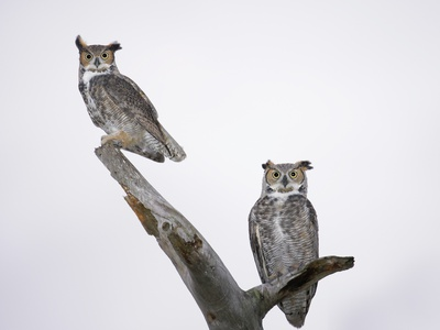 Great Horned Owls on Branch Stretched Canvas Print