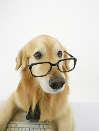 Golden Retriever Wearing Eyeglasses Stretched Canvas Print