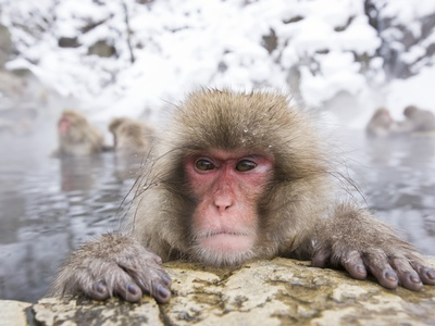 Japanese Snow Monkey in Hot Spring in Winter Stretched Canvas Print