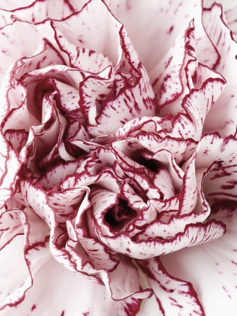 Close-Up of Pink and White Carnation Stretched Canvas Print