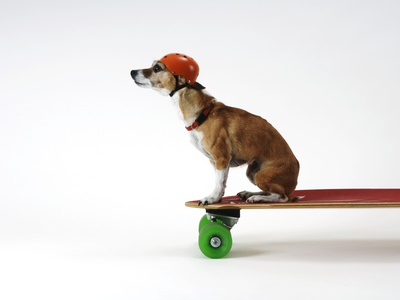 Chihuahua on a Skateboard Stretched Canvas Print