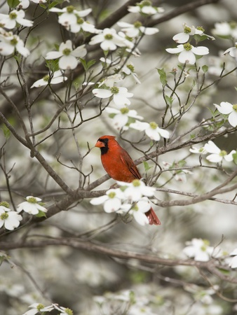 Close-up of Cardinal in Blooming Tree Stretched Canvas Print