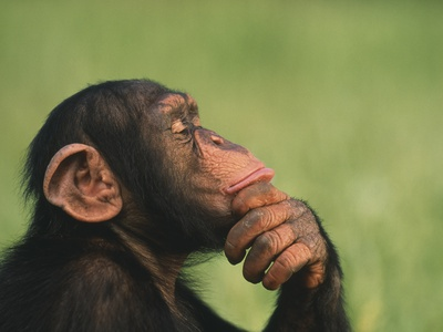 Chimpanzee Resting Chin in Hand Stretched Canvas Print