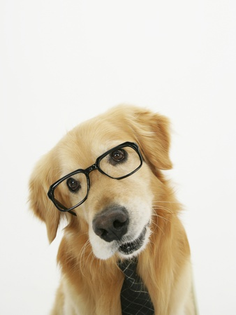 Golden Retriever Wearing Eyeglasses and Necktie Stretched Canvas Print