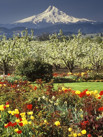Tulips and Pear Orchard Below Mt. Hood Stretched Canvas Print