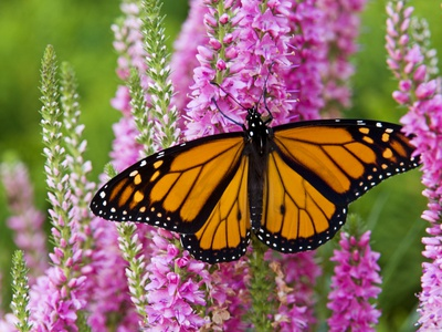 Monarch Butterfly (Danaus Plexippus) Nectaring on Speedwell Plant (Veronica Officinalis) in Flower  Stretched Canvas Print