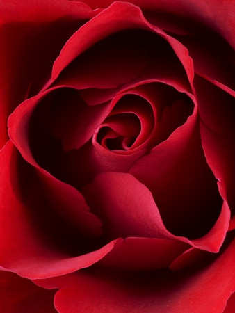 Close-up View of Red Rose Stretched Canvas Print