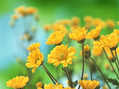 Yellow Chrysanthemums Stretched Canvas Print