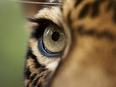 Captive Jaguar at Las Pumas Rescue Shelter Stretched Canvas Print
