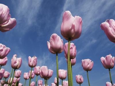 Pink tulips in a garden, Indira Gandhi Tulip Garden, Srinagar, Jammu And Kashmir, India Stretched Canvas Print