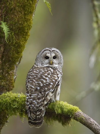 Barred Owl Perched on Mossy Branch, Victoria, Vancouver Island, British Columbia, Canada. Stretched Canvas Print