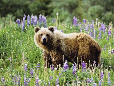 Grizzly Bear, Northern British Columbia, Canada. Stretched Canvas Print