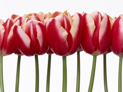 Red Tulips, Close Up, White Background Stretched Canvas Print