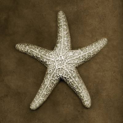 Sugar Starfish Stretched Canvas Print