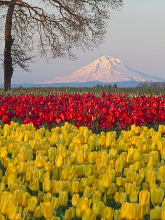 Tulip field and Mount Hood, Woodburn Oregon Stretched Canvas Print