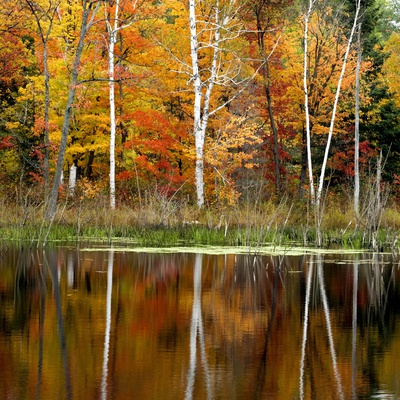 Autumn Colour Reflected in a Beaver Pond, Point Au Baril, Ontario, Canada. Stretched Canvas Print
