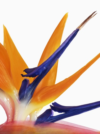 Bird of paradise flower Stretched Canvas Print
