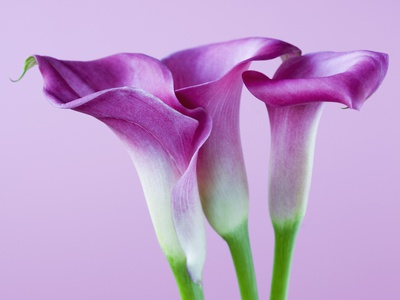 Purple Calla Lilies Stretched Canvas Print