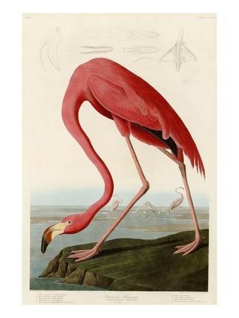 American Flamingo artwork by John James Audubon
