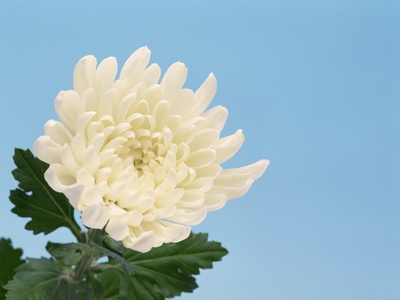 Close-up of White Chrysanthemum Stretched Canvas Print