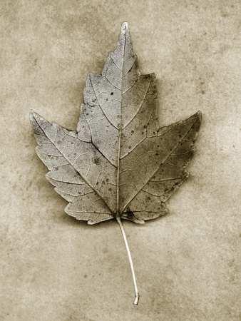 Maple Leaf Stretched Canvas Print