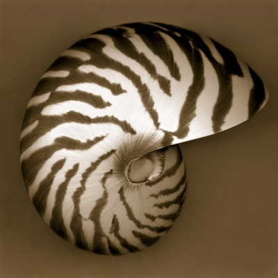 Nautilus Shell Stretched Canvas Print