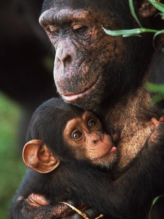 Chimpanzee Mother Nurturing Baby Stretched Canvas Print