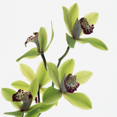 Green Orchid Stretched Canvas Print