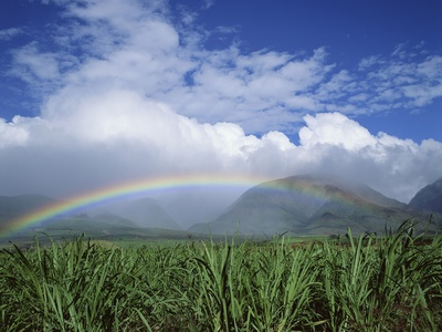 Rainbow Above Sugar Cane Field on Maui Stretched Canvas Print