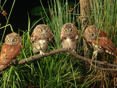 Eastern Screech Owl Fledglings Stretched Canvas Print