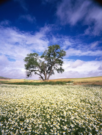 Oak Tree in Field of Daisies Stretched Canvas Print
