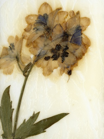 Delphinium Stretched Canvas Print