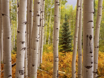 Aspen Forest Stretched Canvas Print