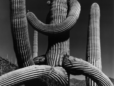 Tangled Arms of a Saguaro Stretched Canvas Print