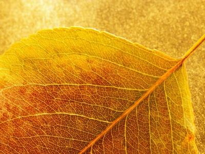 Autumn Leaf Stretched Canvas Print