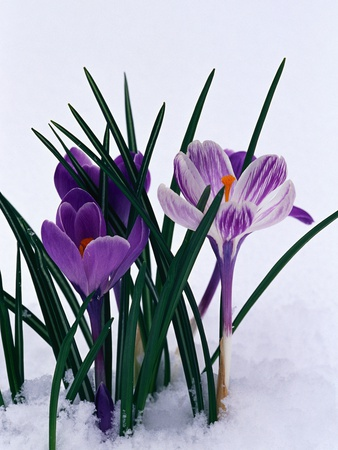 Crocuses in Snow Stretched Canvas Print