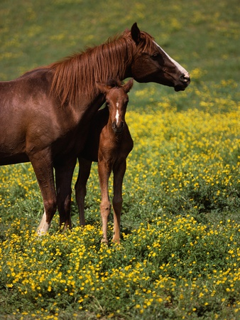 Arabian Mare and Foal Stretched Canvas Print