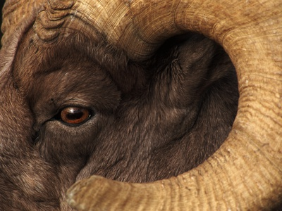 Head of American Bighorn Sheep Stretched Canvas Print