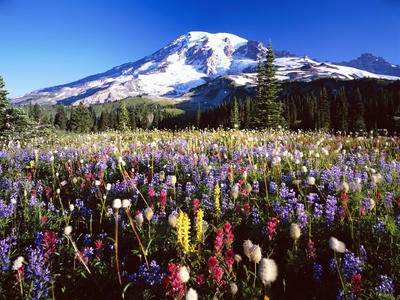 Wildflower Meadow and Mount Rainier Stretched Canvas Print
