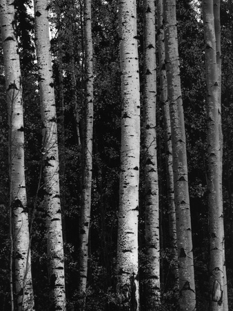 Birch Trees Stretched Canvas Print