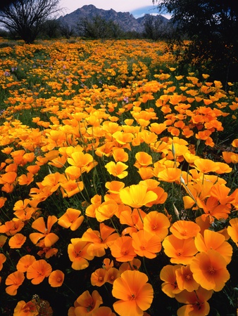 Meadow Carpeted with California Poppies Stretched Canvas Print