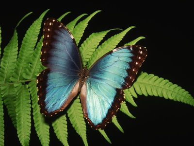 Blue Common Morpho Butterfly on Fern Frond Stretched Canvas Print