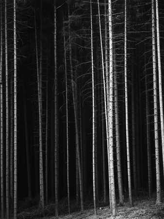 Pine Forest, Germany, 1971 Stretched Canvas Print