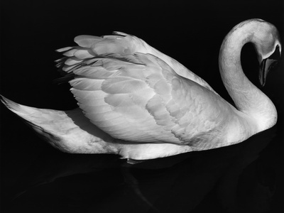 Swan, Europe, 1972 Stretched Canvas Print