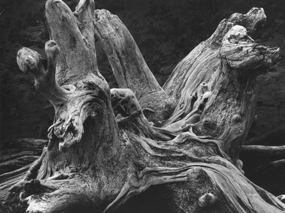 Driftwood Stump by Brett Weston Stretched Canvas Print