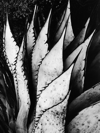 Agave Leaves Stretched Canvas Print