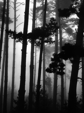 Pines in Fog, 1962 Stretched Canvas Print