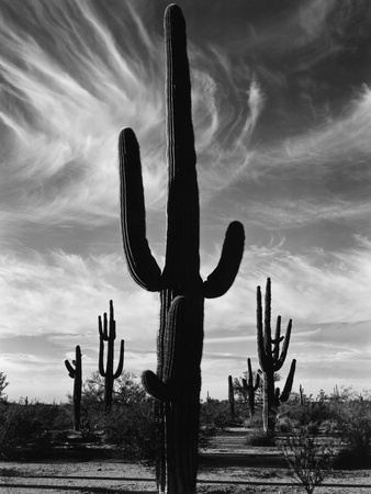 Saguaros, Arizona Stretched Canvas Print