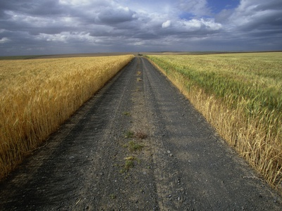 Gravel Road Passing Through Wheat Field Stretched Canvas Print