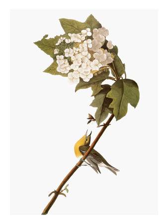 Audubon: Warbler, 1827-38 Stretched Canvas Print